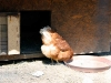 pollaio3
